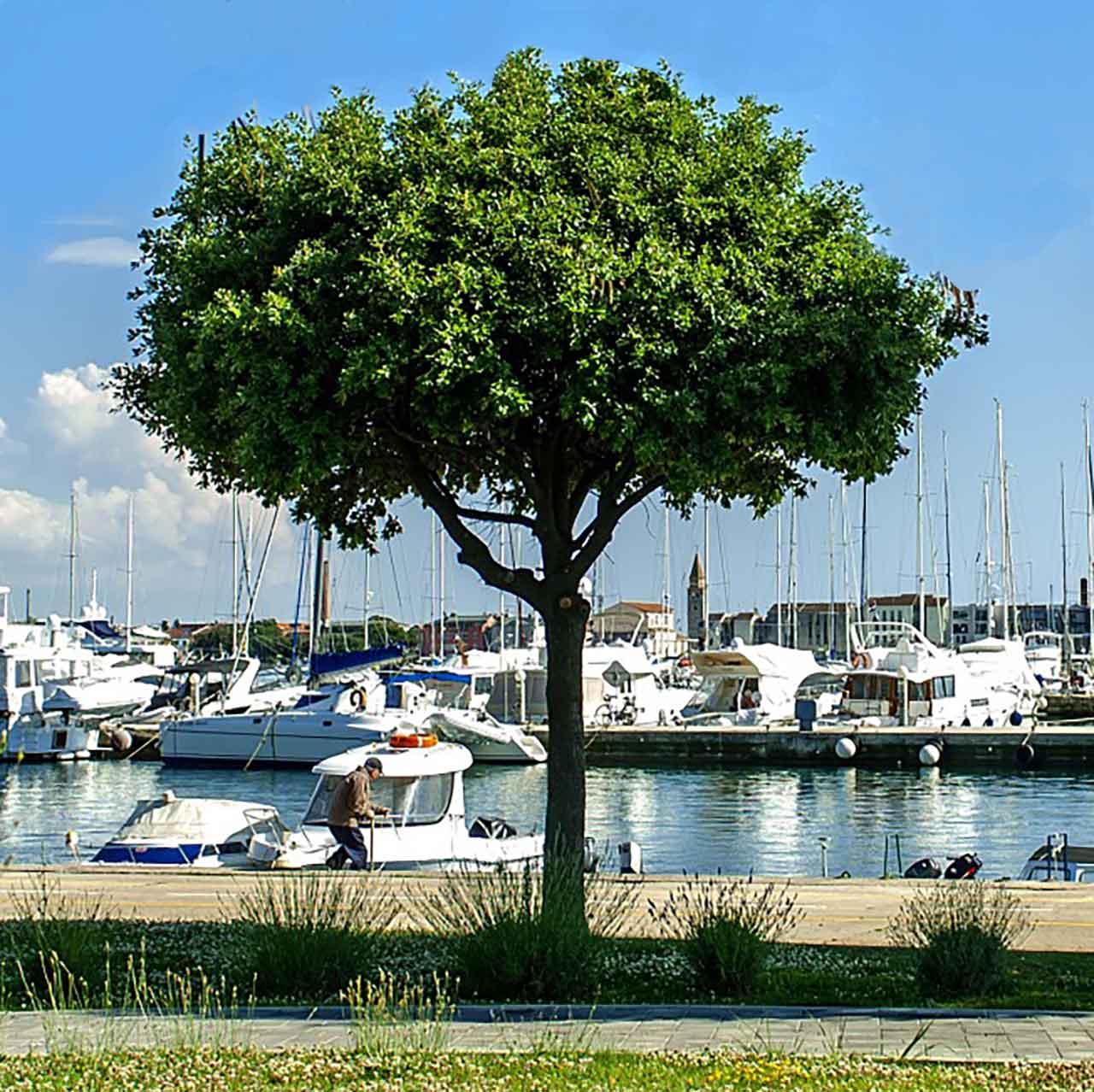 Stablo pored Marine